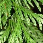 Riesen Lebensbaum Thuja plicata 01