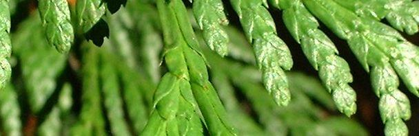 Anklicken um das ganze Bild zu sehen Riesen-Lebensbaum Zweig grün Thuja plicata
