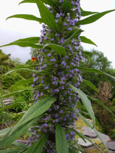Riesen Natternkopf Bluete blau Echium pininana 01