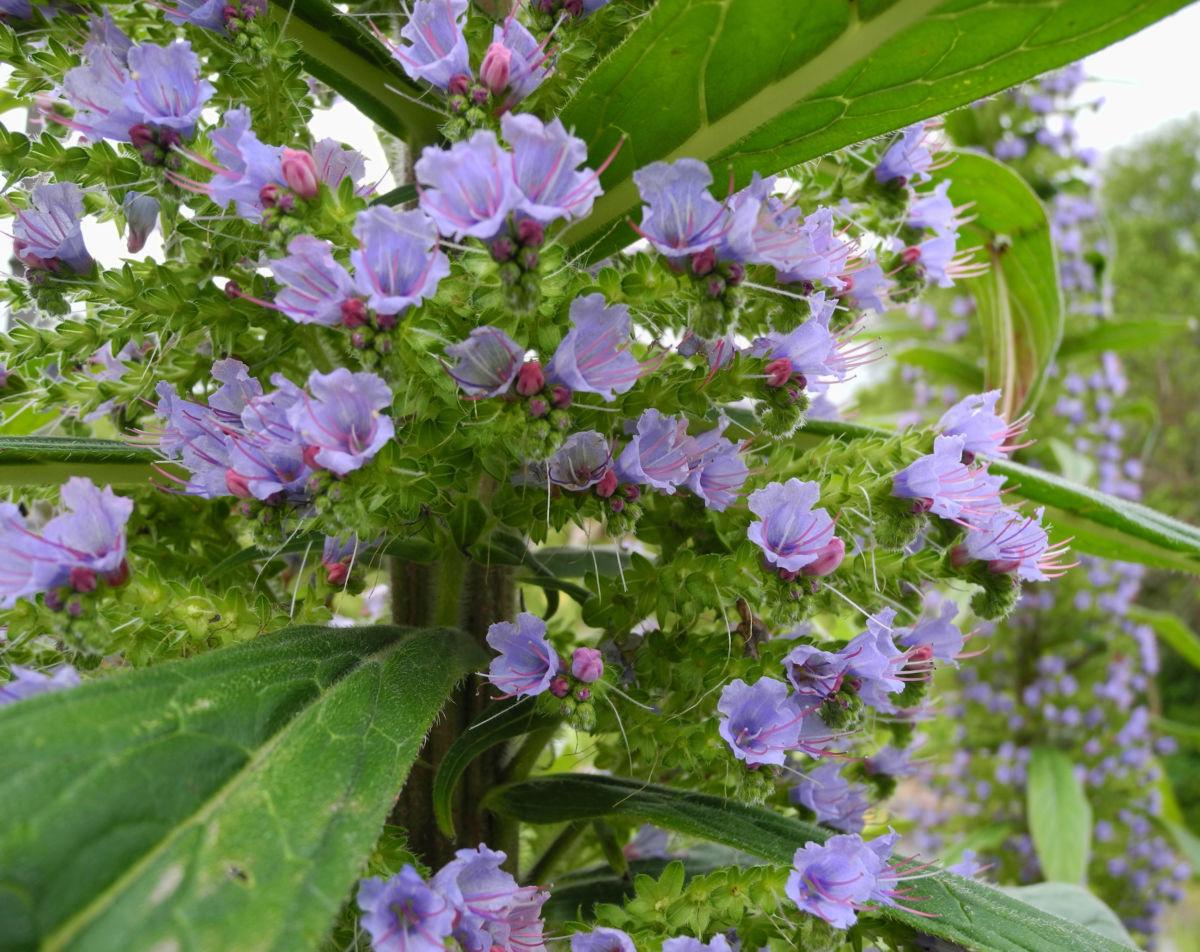 Riesen Natternkopf Bluete blau Echium pininana
