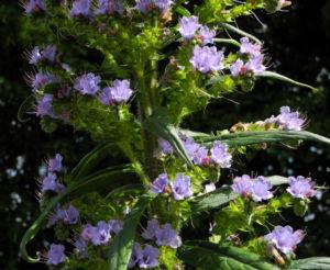 Riesen Natternkopf Bluete blau Echium pininana 06