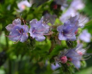 Riesen Natternkopf Bluete blau Echium pininana 07