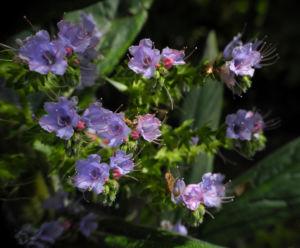 Riesen Natternkopf Bluete blau Echium pininana 09