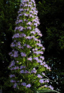 Riesen Natternkopf Bluete blau Echium pininana 10