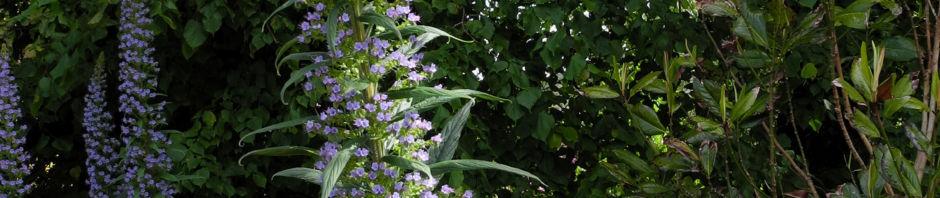 Anklicken um das ganze Bild zu sehen Riesen-Natternkopf Blüte blau Echium pininana