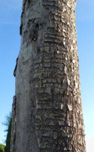 Riesen Palmlilie Blatt gruen Yucca elephantipes 02