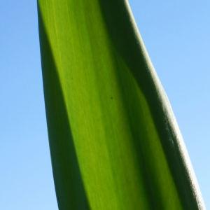 Riesen Palmlilie Blatt gruen Yucca elephantipes 04