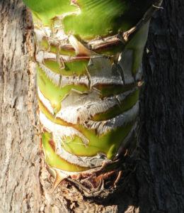 Riesen Palmlilie Blatt gruen Yucca elephantipes 05
