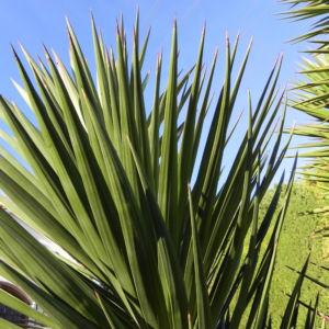 Riesen Palmlilie Blatt gruen Yucca elephantipes 07