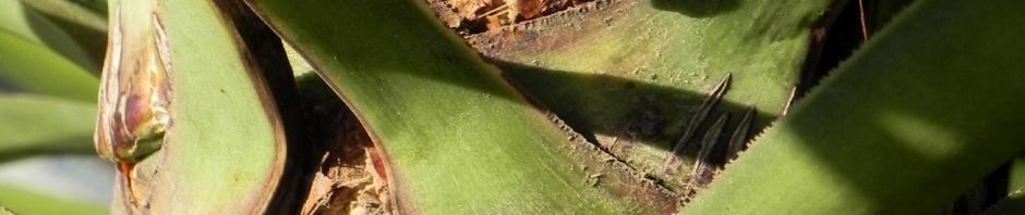riesen-palmlilie-blatt-gruen-rinde-grau-braun-yucca-elephantipes
