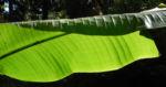 Riesen Strelitzie Blatt gruen Strelitzia nicolai 01