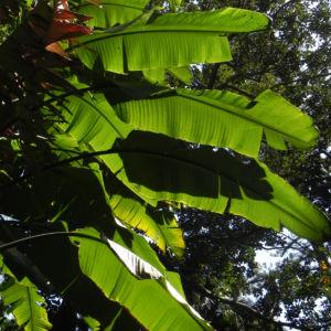 Riesen Strelitzie Blatt gruen Strelitzia nicolai 02