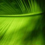 Riesen Strelitzie Blatt gruen Strelitzia nicolai 03