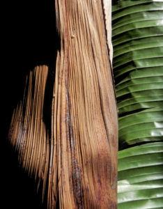 Riesen Strelitzie Blatt gruen Strelitzia nicolai 05