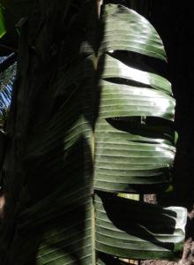 Riesen Strelitzie Blatt gruen Strelitzia nicolai 09