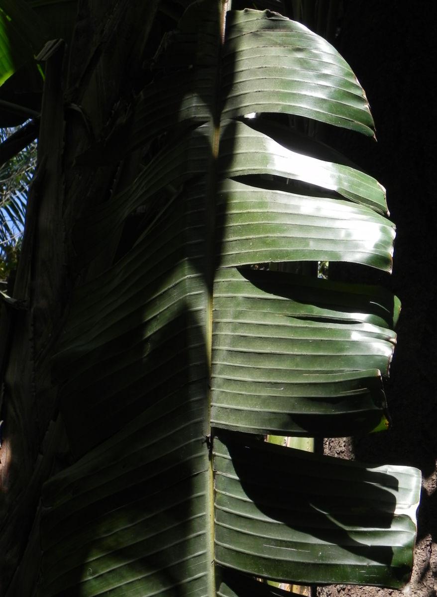 Riesen Strelitzie Blatt gruen Strelitzia nicolai