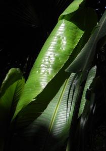 Riesen Strelitzie Blatt gruen Strelitzia nicolai 11