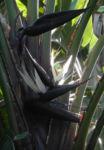 Riesen Strelitzie Bluete weiss Strelitzia nicolai 02