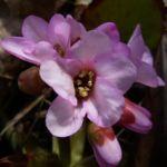 Riesensteinbrech Bergenia cordifolia 01