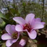 Riesensteinbrech Bergenia cordifolia 03