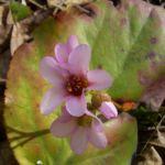 Riesensteinbrech Bergenia cordifolia 04