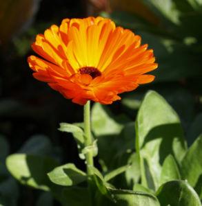 Ringelblume Blüte orange Calendula officinalis08