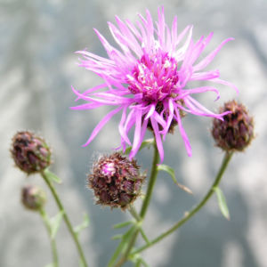 Rispen Flockenblume Bluete pink Centaurea stoebe 01