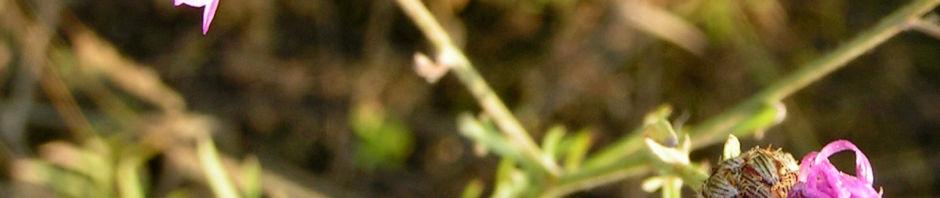 rispen-flockenblume-bluete-pink-centaurea-stoebe