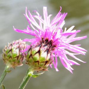 Rispen Flockenblume Bluete pink Centaurea stoebe 03
