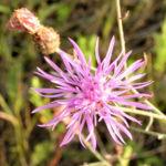 Rispen Flockenblume Bluete pink Centaurea stoebe 04