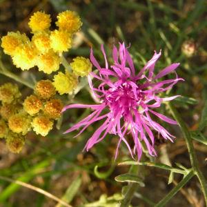 Rispen Flockenblume Bluete pink Centaurea stoebe 06