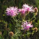 Rispen Flockenblume Bluete pink Centaurea stoebe 07