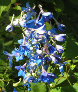Rittersporn Bluete blau Delphinium grandiflorum 02