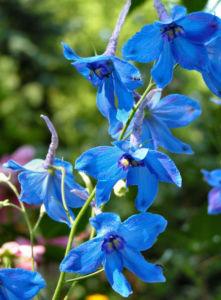 Rittersporn Bluete blau Delphinium grandiflorum 04
