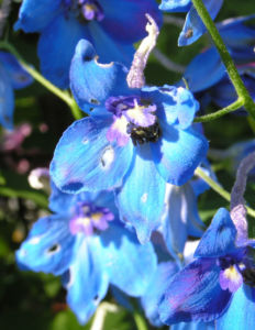 Rittersporn Bluete blau Delphinium grandiflorum 06