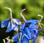 Rittersporn Bluete blau Delphinium grandiflorum 07