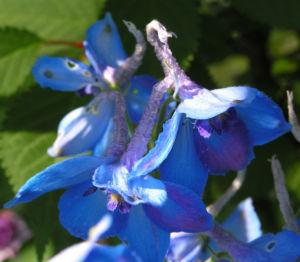 Rittersporn Bluete blau Delphinium grandiflorum 08