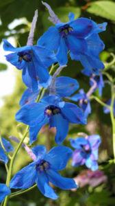 Rittersporn Bluete blau Delphinium grandiflorum 09