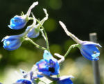 Rittersporn Bluete blau Delphinium grandiflorum 10