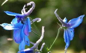 Rittersporn Bluete blau Delphinium grandiflorum 12