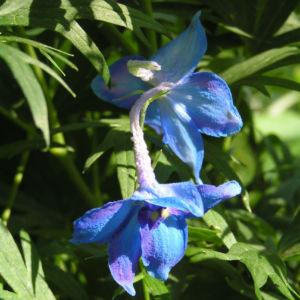 Rittersporn Bluete blau Delphinium grandiflorum 13