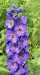 Rittersporn Bluete dunkl lila Consolida ambigua 01