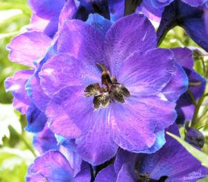 Rittersporn Bluete dunkl lila Consolida ambigua 02