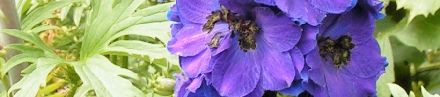 Anklicken um das ganze Bild zu sehen Feldrittersporn Blüte lila Consolida ambigua