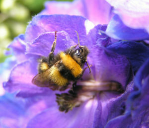 Rittersporn Bluete dunkl lila Consolida ambigua 06