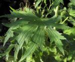 Bild: Rittersporn Blüte hellblau Delphinium