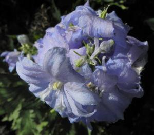 Rittersporn Bluete hellblau Delphinium 21