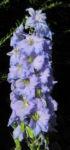 Rittersporn Bluete hellblau Delphinium 23