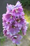 Rittersporn Bluete helllila Delphinium Fanfare 02