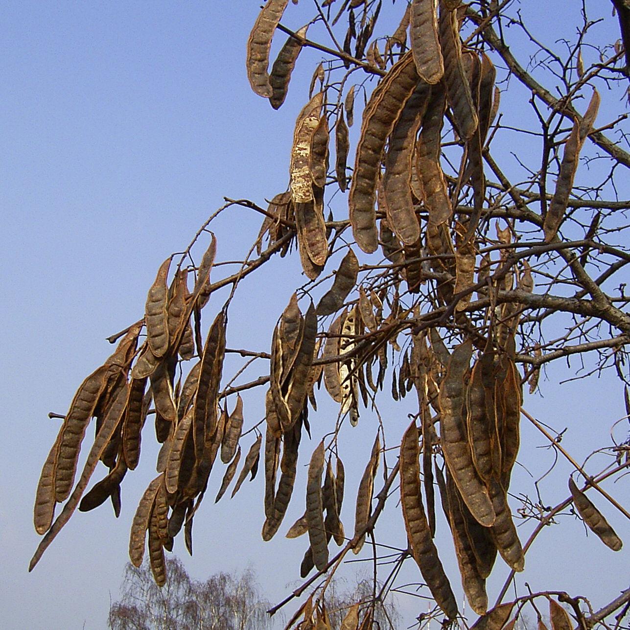 Robinie Winter Frucht Robinia pseudo acacia 05